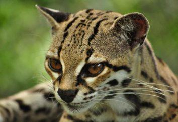 gato de tigre – que tal bestia?