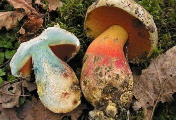 Co grzyb na cięcia staje się niebieski: pomóc grzyb