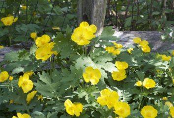 Celidonia: proprietà terapeutiche e controindicazioni per l'uso di piante miracolose