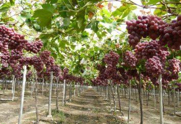 Le migliori uve. 10 delle migliori uve (foto)