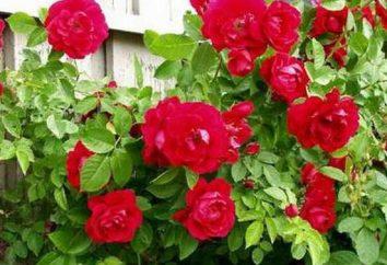 Rosa flamentants scalatore: la dignità, particolarmente in crescita