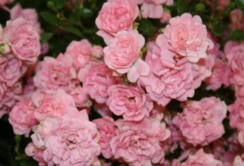"Rose groundcover ""Fée"": description, culture"