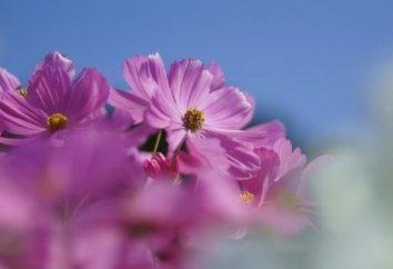 Kosmeya – fiori per ogni giardino