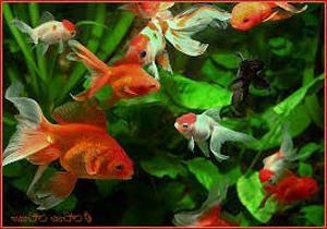 Choroby goldfish – opieka nad swoim panem