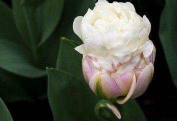 """Ice Cream"" – tulipan lub deser? Lub kombinację obu?"
