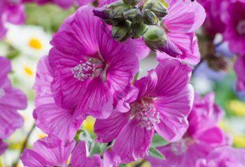 Lavatera: Plantation et soins des conseils sur la croissance