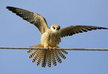 Uccello falcon – la descrizione e le caratteristiche