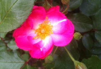 Rosa majalis – kolczasty uzdrowiciel