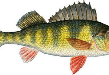 A família de peixe da vara: nome, descrição. Ruffe. pikeperch Volga. poleiro rio