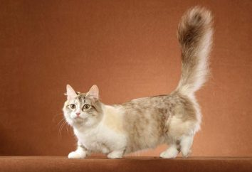 Munchkin – korotkolapye koty: charakterystyka rasy