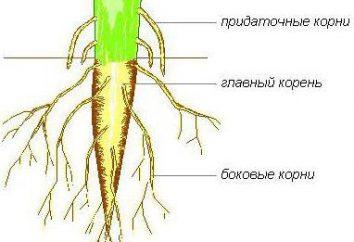 La estructura de la raíz de la planta. Características de la estructura de la raíz