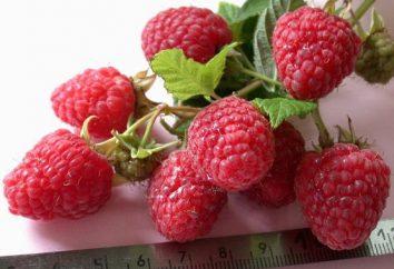 Raspberry Hercules: Entretien et caractéristiques de la culture