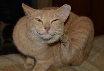 Kot potrząsa głową i drapie uszy: Możliwe przyczyny. Jak czyścić uszy Kot w domu