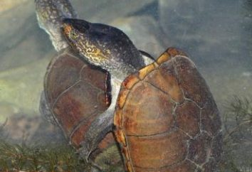 Jak żółwie rozmnażają się w niewoli?