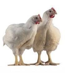 poulet de chair: qui il est et comment se développer correctement