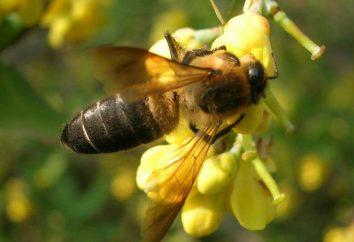 Le api himalayane: il miele allucinogeno e la sua preda