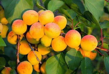Morela Chabarowsk: opis odmiany, sadzenie i zasad konserwacji