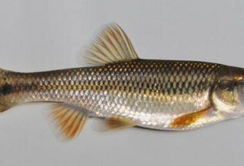 Ryby asp: fotografie, recepty
