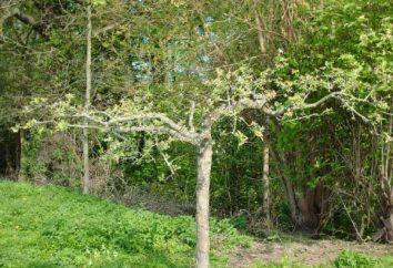 Potatura alberi di mele in primavera: Consigli giardinieri