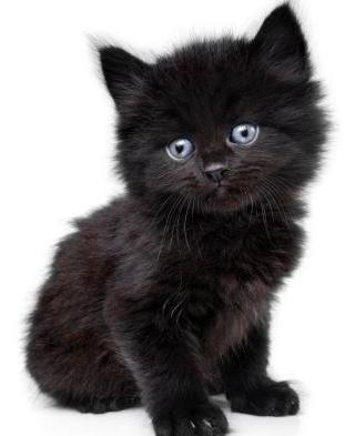 W Rasie Zwanej Niebieski Kot Z Niebieskimi Oczami