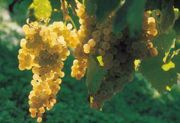 Jak zrobić koniak w domu winogron i bimbru