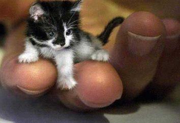 I più piccoli gatti nel mondo e le loro caratteristiche