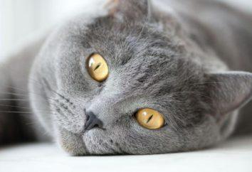 Zapalenie spojówek u kotów: objawy, leczenie