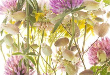 Ressembler fleurs de trèfle: Description