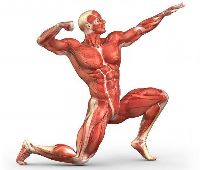 Hombre del músculo: el diseño. Los nombres de los músculos humanos