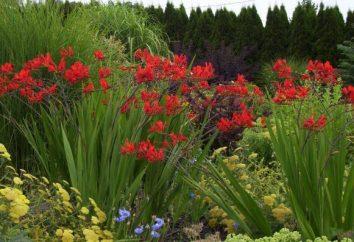 Crocosmia – sadzenie i pielęgnacja. kwiat Crocosmia (foto)