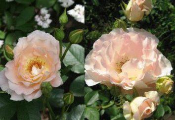 "Escalade rose ""Rococo"": description de la variété, photo, avis"