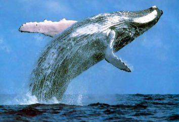 La ballena más grande en necesidad de protección