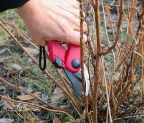 Hortensja na Syberii: sadzenie i pielęgnacja roślin ozdobnych