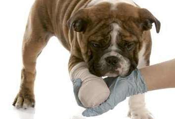 Dysplazji u psów: zakres, przyczyny, leczenie