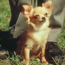 Chihuahua de pelo largo – el mejor amigo