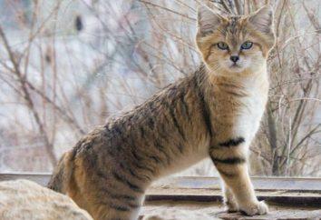chat de sable – le maître du désert!