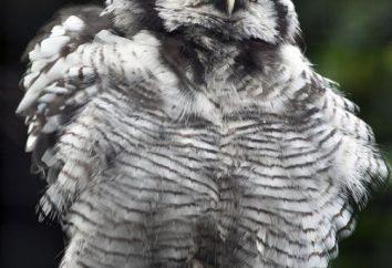 Hawk owl: opis i zdjęcia