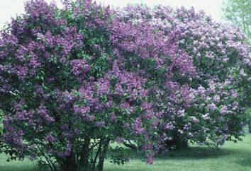 Lilas: il est un arbuste ou un arbre? Les raisons de la popularité et l'histoire de la culture de la culture