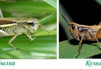 Pouliche – famille d'insectes de Criquets