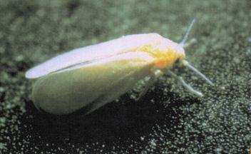 Wie mit Weißen Fliegen auf Sämlinge und ausgewachsene Pflanzen beschäftigen?