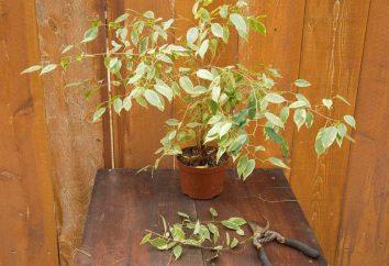 Ficus benjamina: Beschneiden und Pflege