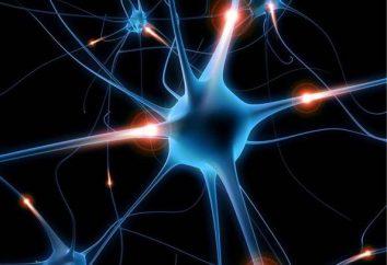 BNE – sind … Höheren Nervenaktivitätsart