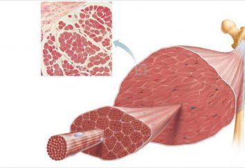 włókien mięśniowych. Rodzaje włókien mięśniowych