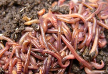 Sonhos incríveis: por que e por que um verme sonha?
