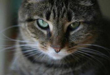 Per uccidere un gatto in un sogno: perché sognare? interpretazione