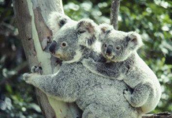 mamíferos marsupiales: los representantes y sus características