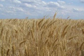 Zima uprawy siewu, ochrony uprawy, przyczyną śmierci