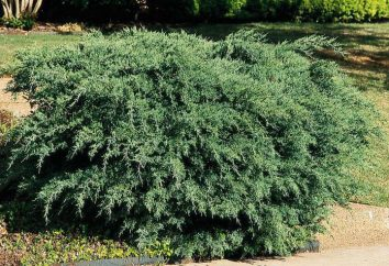 Juniper – jest drzewo lub krzew? Owoce jałowca