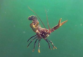 câncer mar Grande: foto e descrição. ermitão marinho