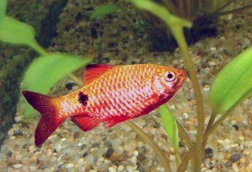 fuego Barbus – una pequeña decoración del acuario